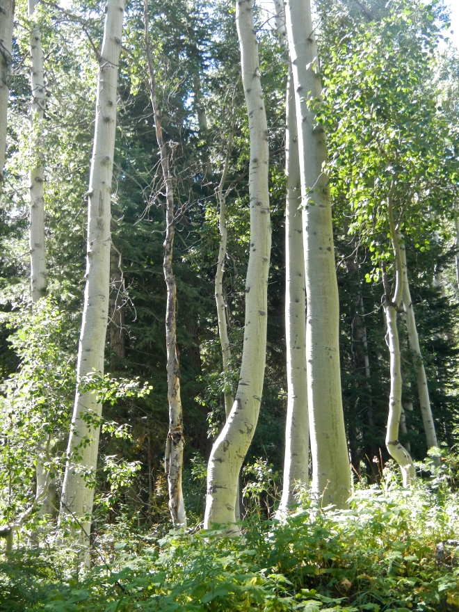 We passed through the largest stand of aspen yet on the trail. So light and airy!
