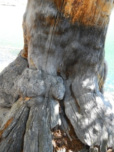 Close-up of the gnarly  tree trunk.
