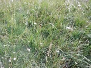 The grass was sparkling with white flowers.