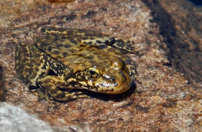 The yellow-legged frogs are on the endangered species list.