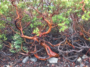 Wet manzanita. So pretty!