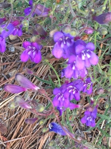 Flowers grew in profusion along the High Sierra Trail
