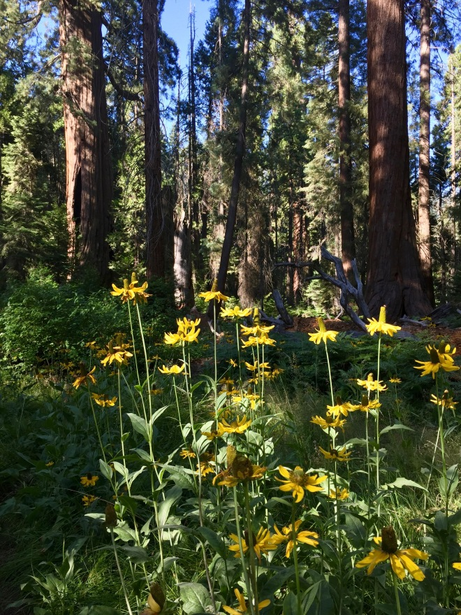 California Coneflowers